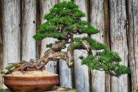 Növénybarátok figyelmébe: bonszai klub alakul Kecskeméten!