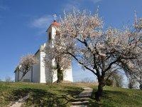 Vajon a pécsi Havi-hegyi mandulafa nyeri az Európai Év Fája címet? A te szavazatodon is múlik!